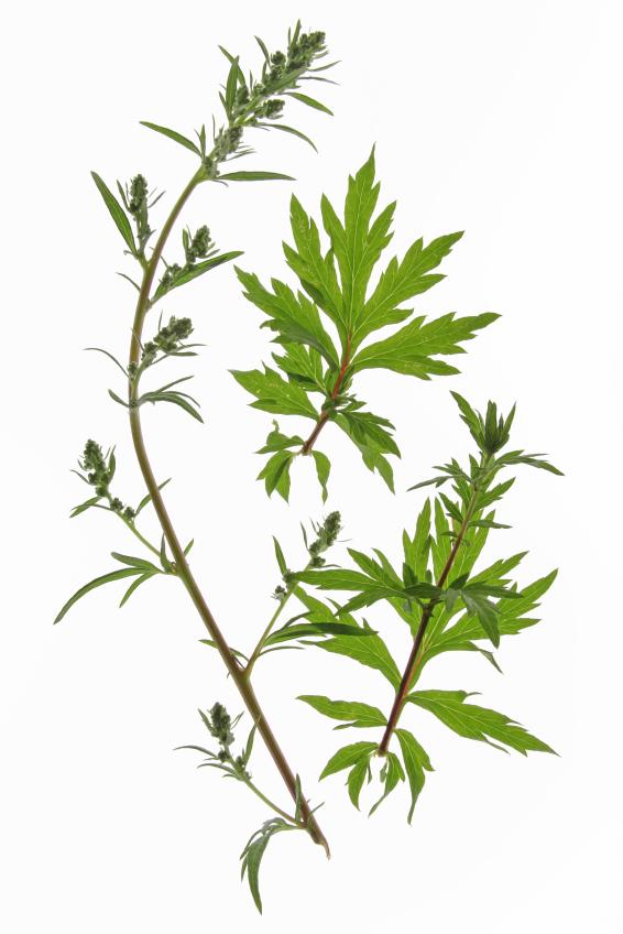 Artemisia absinthium (Fehérüröm)