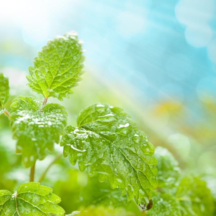 Mentha spicata (Fodormenta)