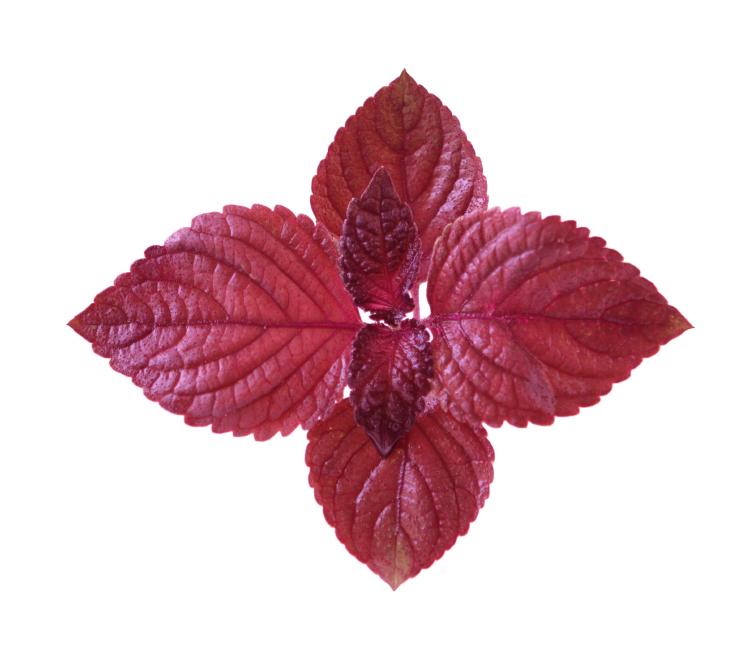 Perilla frutescens (Kínai Bazsalikom)