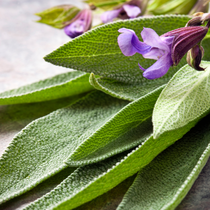 Salvia officinalis (Orvosi Zsálya)